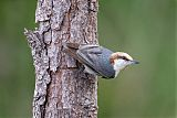 Brown-headed Nuthatchborder=
