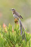 Cape Sugarbirdborder=
