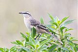 Chalk-browed Mockingbirdborder=