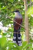 Chestnut-bellied Cuckooborder=