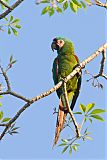 Chestnut-fronted Macawborder=