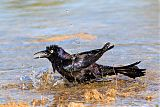 Common Grackleborder=