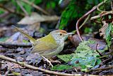 Common Tailorbirdborder=