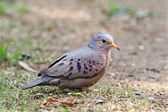 Common Ground Dove