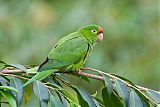 Crimson-fronted Parakeetborder=