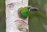 Crimson-rumped Toucanetborder=