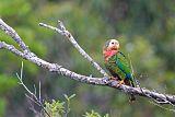Cuban Parrotborder=