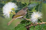 Dark-brown Honeyeaterborder=
