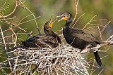 Double-crested Cormorantborder=