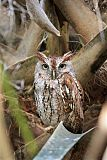 Eastern Screech-Owlborder=