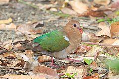 Pacific Emerald Dove