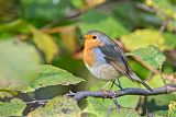 European Robinborder=