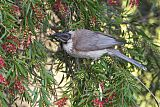 Noisy Friarbirdborder=