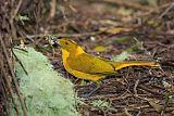 Golden Bowerbirdborder=