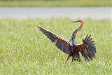 Goliath Heronborder=