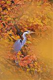 Gray Heronborder=
