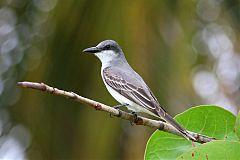 Gray Kingbird