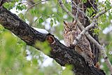 Great Horned Owlborder=
