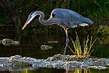 Great Blue Heronborder=