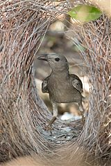 Great Bowerbird