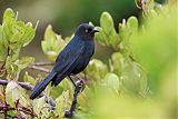 Greater Antillean Grackleborder=