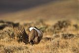 Greater Sage-Grouse