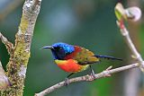Green-tailed Sunbirdborder=