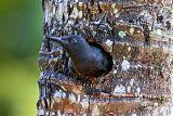 Guadeloupe Woodpecker