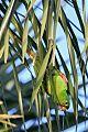Hispaniolan Parakeetborder=