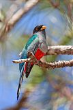 Hispaniolan Trogon