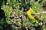 Hooded Siskin