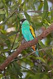 Hooded Parrotborder=
