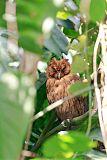 Jamaican Owlborder=