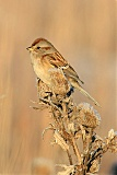 American Tree Sparrowborder=