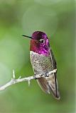 Anna's Hummingbirdborder=