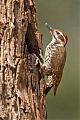 Arizona Woodpeckerborder=