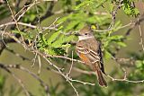 Ash-throated Flycatcherborder=