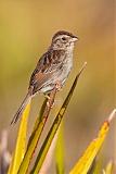 Bachman's Sparrowborder=