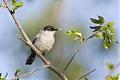 Black-tailed Gnatcatcherborder=