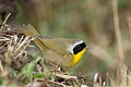 Common Yellowthroatborder=
