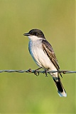 Eastern Kingbirdborder=