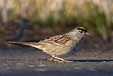 Golden-crowned Sparrowborder=