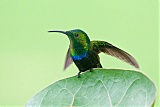 Green-throated Caribborder=