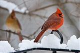 Northern Cardinalborder=