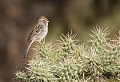 Rufous-winged Sparrowborder=