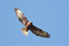 Short-tailed Hawk
