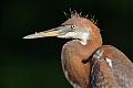 Tricolored Heronborder=