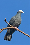 White-crowned Pigeonborder=
