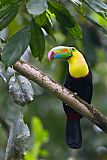 Keel-billed Toucanborder=