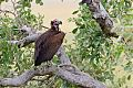 Lappet-faced Vultureborder=